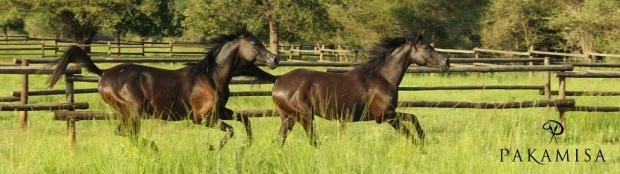 Pakamisa Arabians