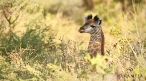 A few day old baby Giraffe sitting in the bushes