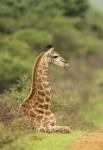 Giraffe - Photo by Christian Sperka Photography